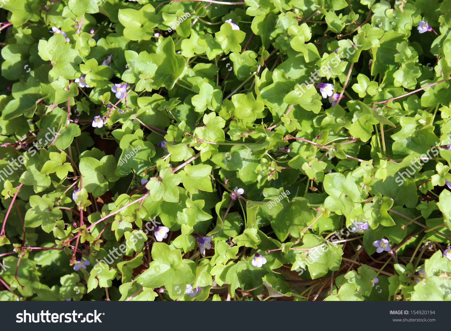 Dainty ground cover plant tiny pale stock photo edit now 154920194 dainty ground cover plant with tiny pale blue flowers kenilworth ivy cymbalaria muralis is perfect for izmirmasajfo