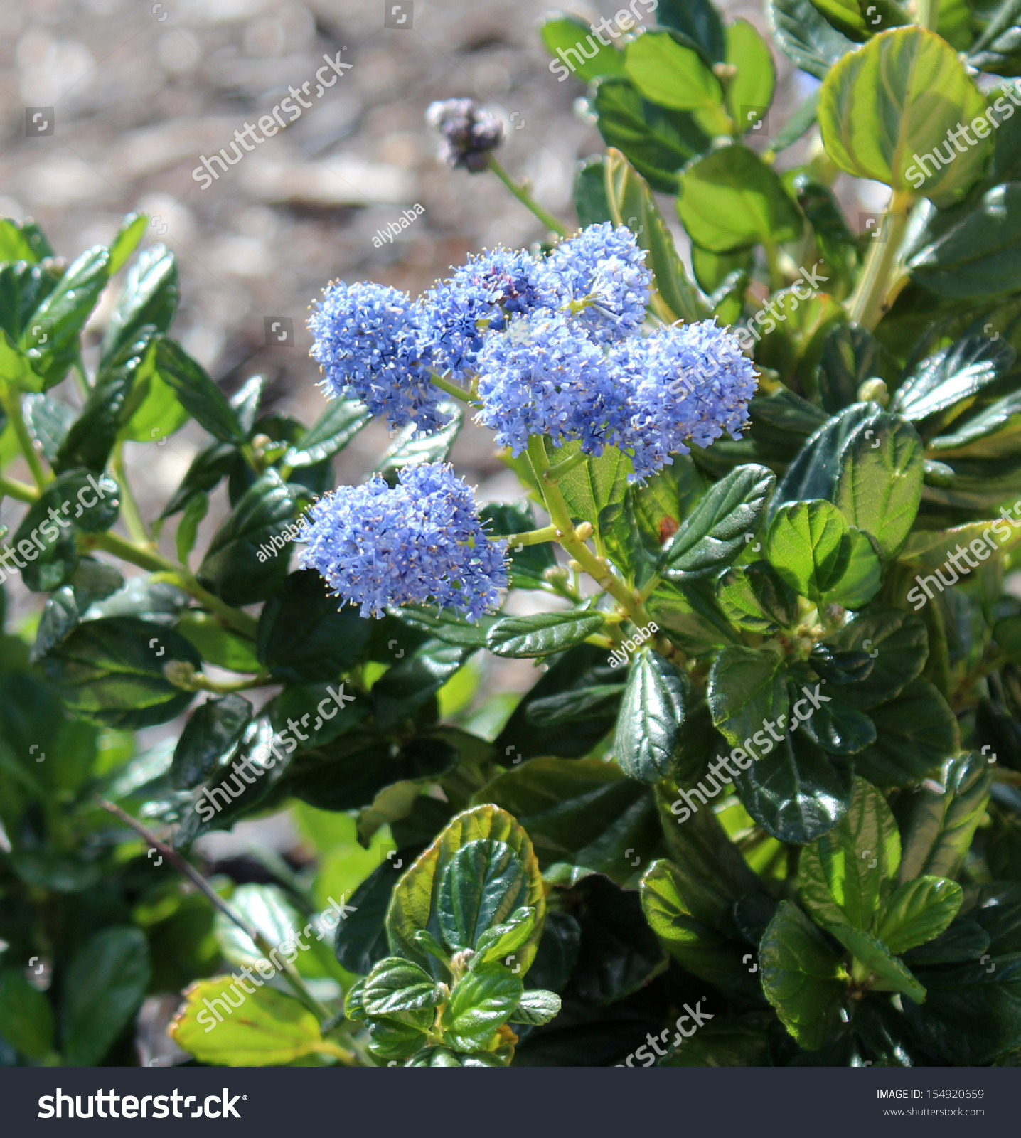 Fluffy tiny mid blue flower heads stock photo edit now 154920659 fluffy tiny mid blue flower heads of ceanothus thyrsifolia in glorious bloom in early spring is mightylinksfo