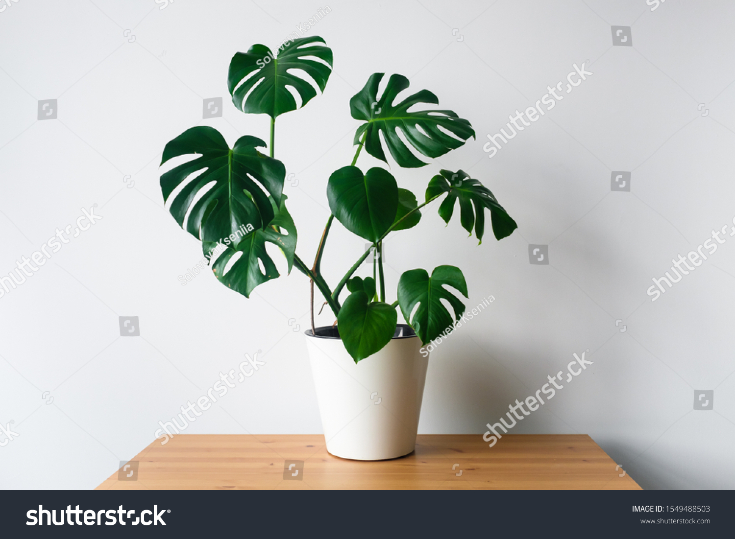 Beautiful monstera flower in a white pot stands on a wooden table on a white background. The concept of minimalism. Hipster scandinavian style room interior. Empty white wall and copy space. #1549488503