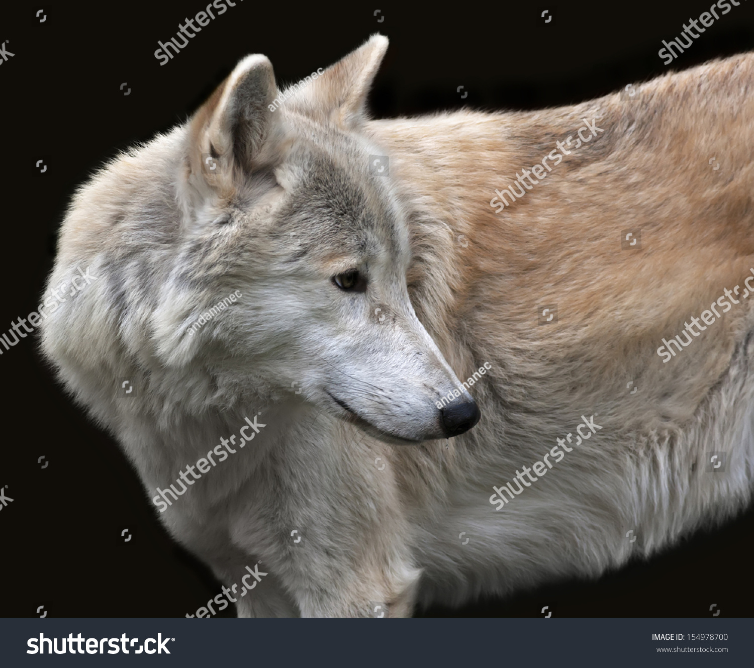 Look Back Polar Wolf Male Isolated Stock Photo 154978700