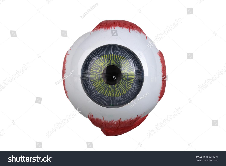 Anatomy Eye Model Stock Photo (Download Now) 155081291 - Shutterstock