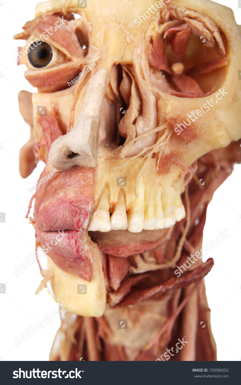 Tooth Lips On Human Face Anatomy Stock Photo Edit Now 155086052