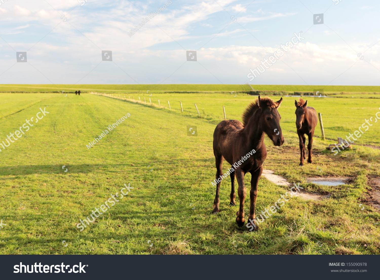 Friesian Horse Light Draft Horse Colts Stock Photo Edit Now 155090978