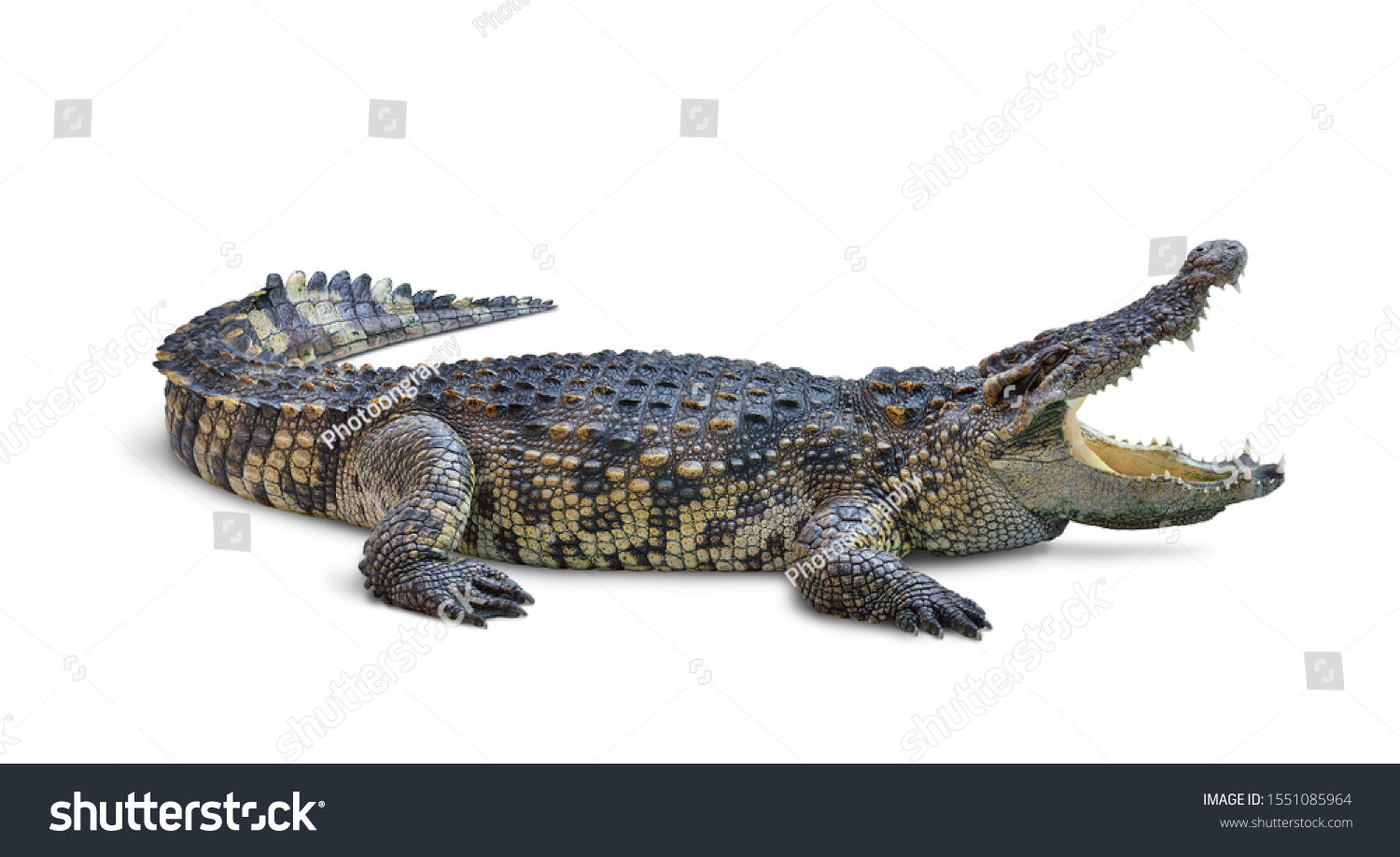 Large Crocodile open mouth isolated on white background. Clipping path. #1551085964