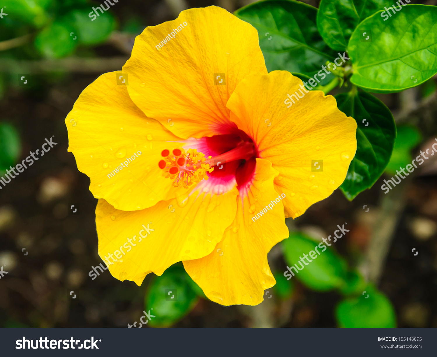 Yellow Hibiscus Flowers With Water Drop On Tree Ez Canvas