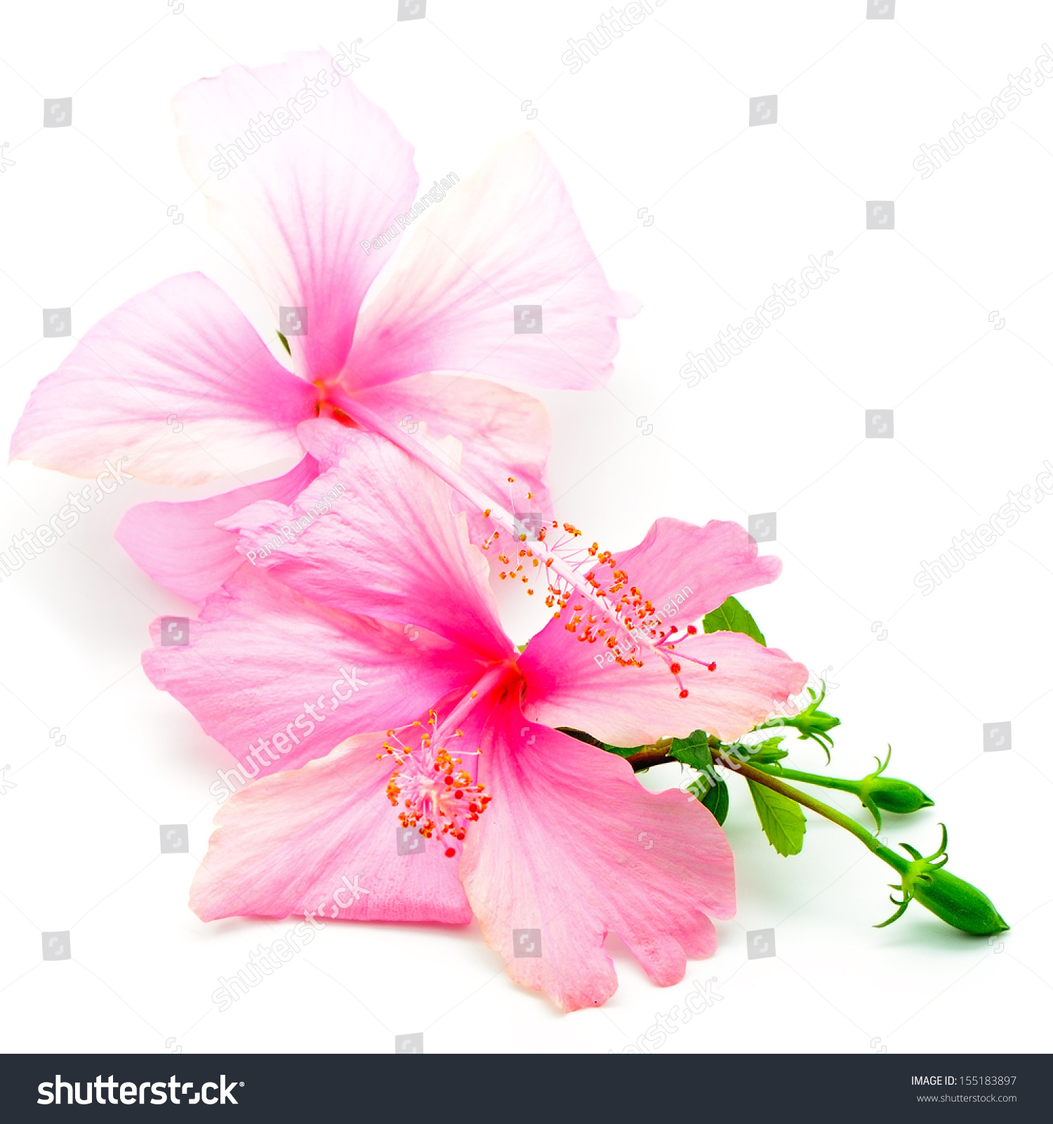 Colorful Pink Hibiscus Flower Isolated On A White Background Ez Canvas
