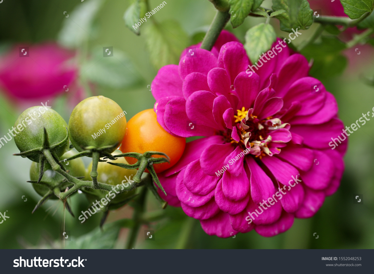 Companion planting of amethyst zinnia with sun gold cherry tomatoes are a perfect combination. Zinnias deter cucumber beetles and tomato worms. They attract predatory wasps and hover flies. #1552048253