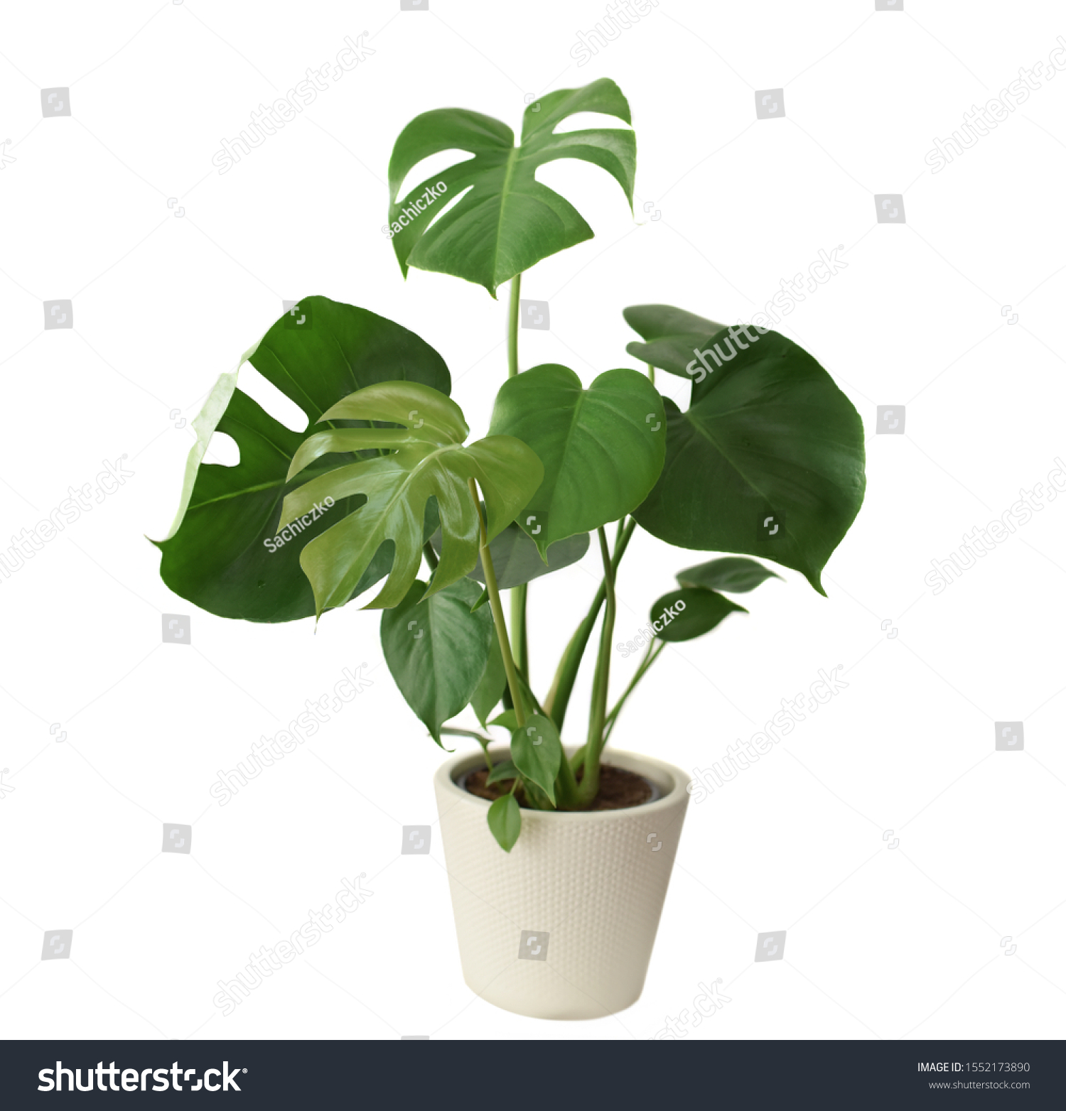 Decorative fresh Monstera deliciosa tree planted in a white ceramic pot isolated on white background. Fresh Swiss Cheese Plant with large glossy green leaves.  #1552173890