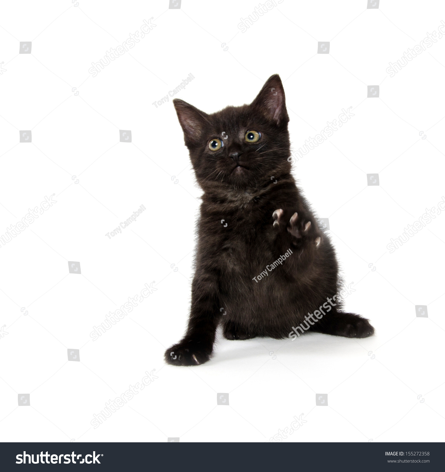 Cute Black American Shorthair Kitten Playing Stock