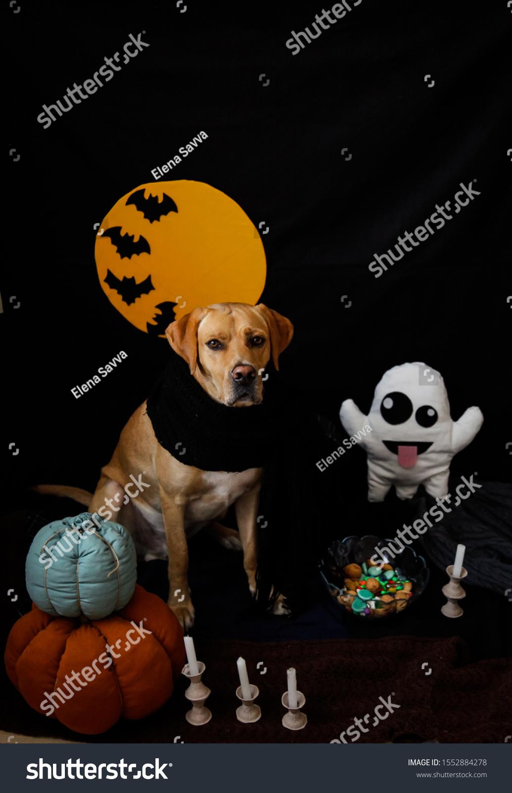 Cute Dressed Labrador Dog Sitting Stock Edit Now