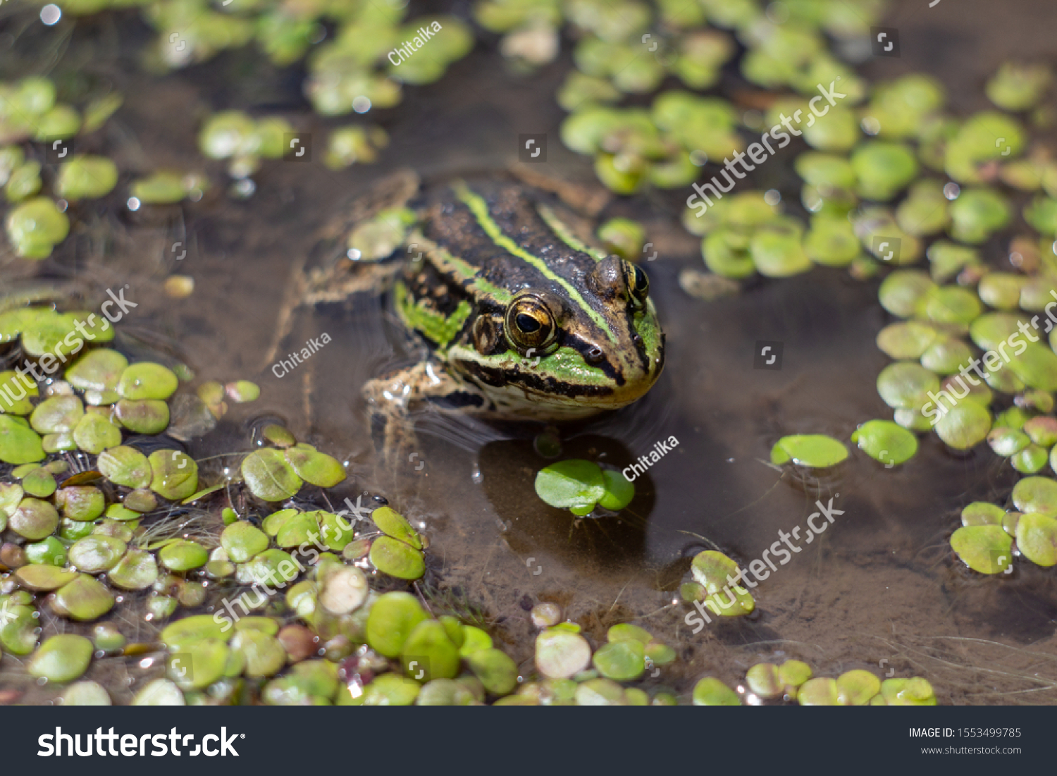 Amphibian in water with duckweed. Green frog in the pond. (Rana esculenta) Macro photo. looking at the camera #1553499785
