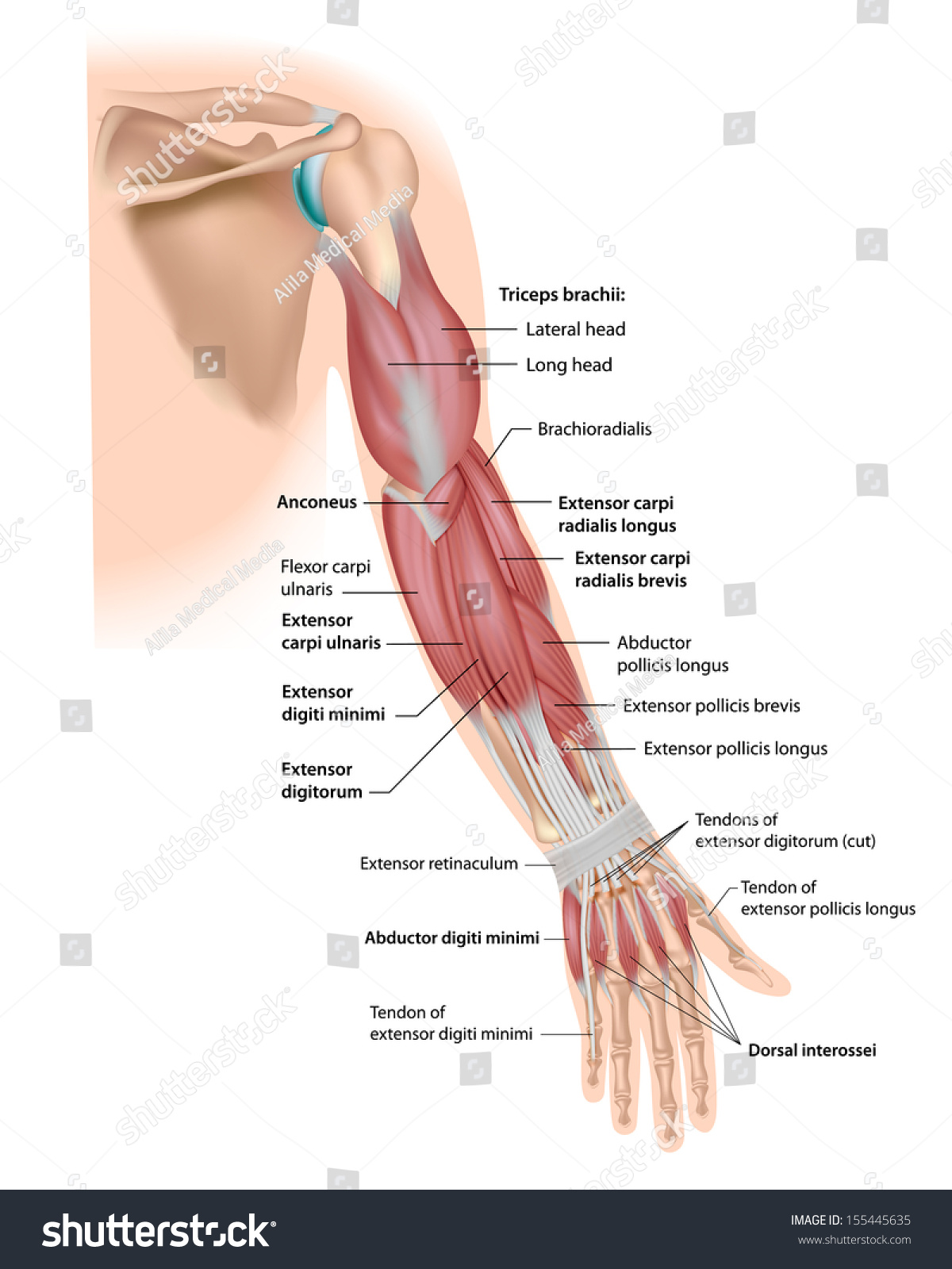 whole arm muscles posterior labeled stock illustration 155445635, Cephalic Vein