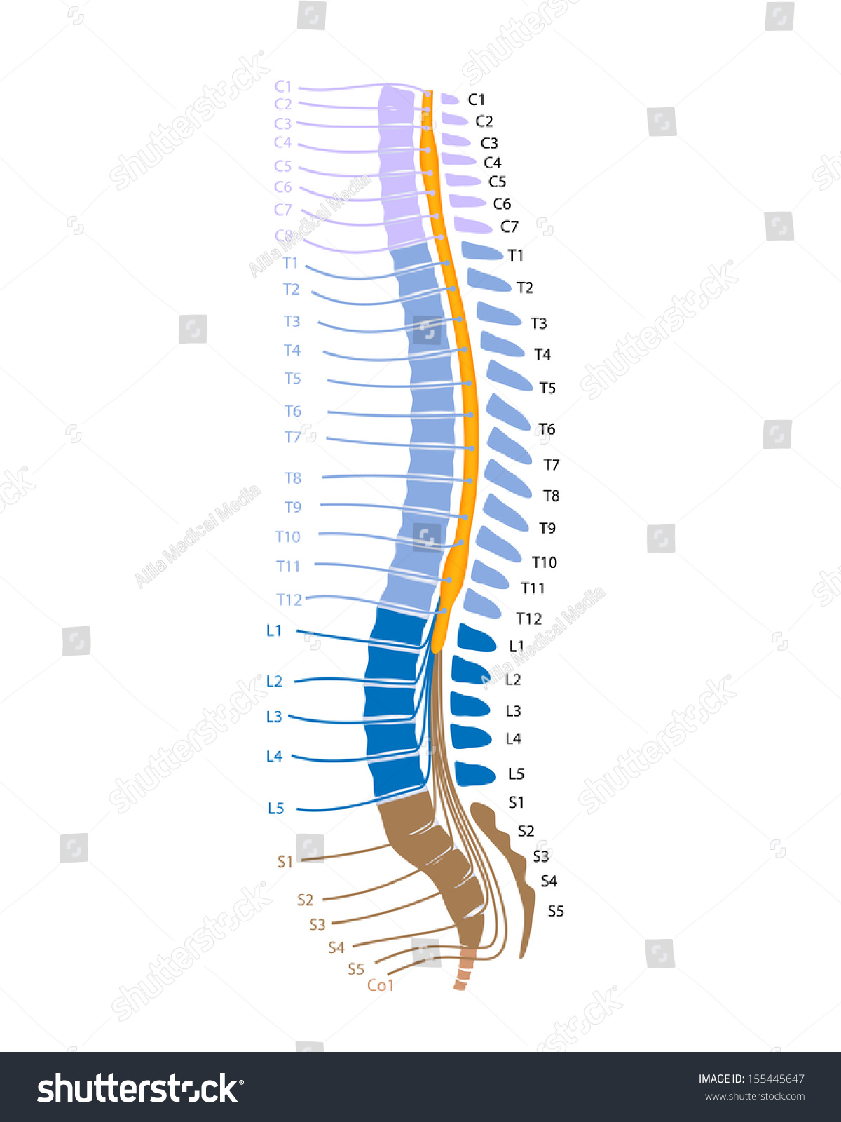 Spinal cord spinal nerves stock illustration 155445647 shutterstock spinal cord and spinal nerves pooptronica Images
