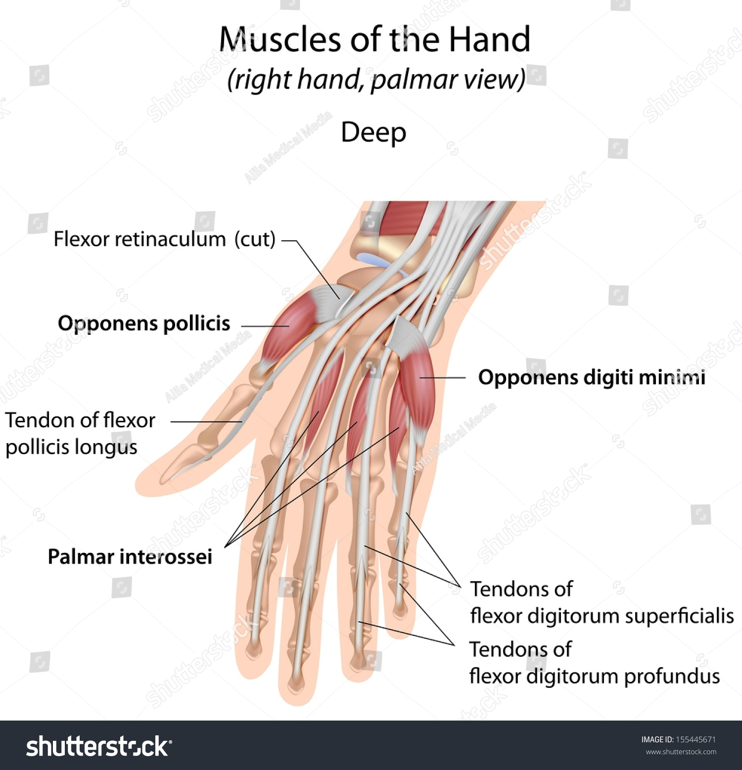 Hand Muscles Palm Deep Labeled Stock Illustration 155445671 ...