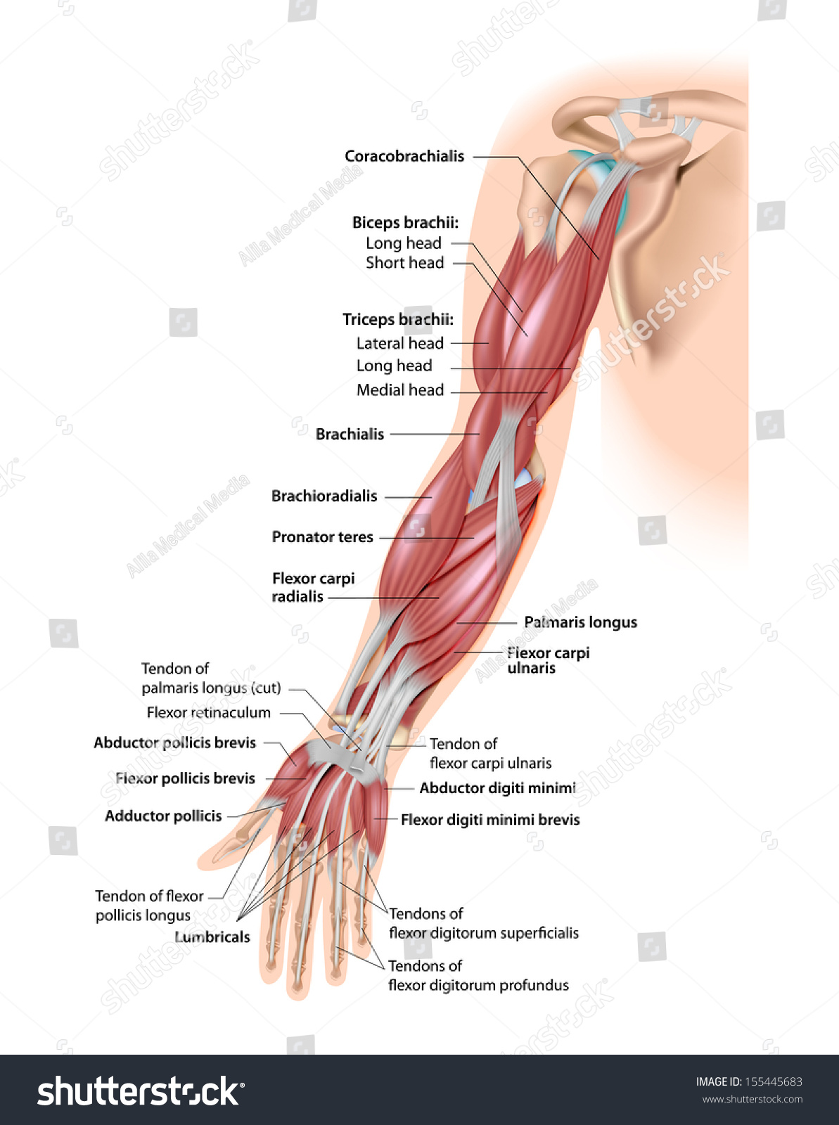 Muscles Arm Anterior Labeled Stock Illustration Royalty Free Stock
