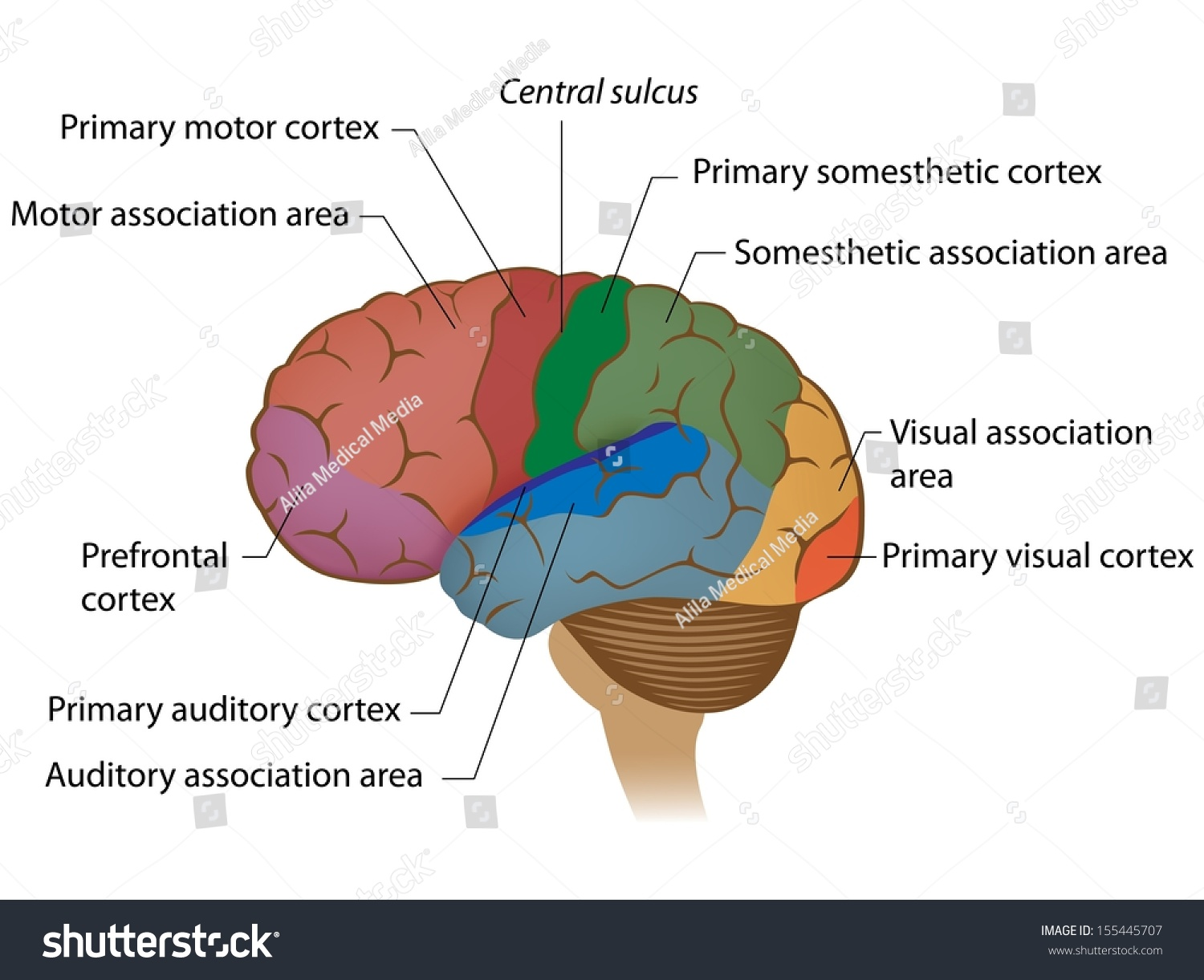 Functional Areas Brain Labeled Stock Illustration - Royalty Free ...