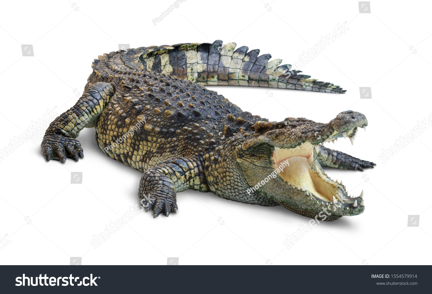 Large Crocodile open mouth isolated on white background. Clipping path. #1554579914