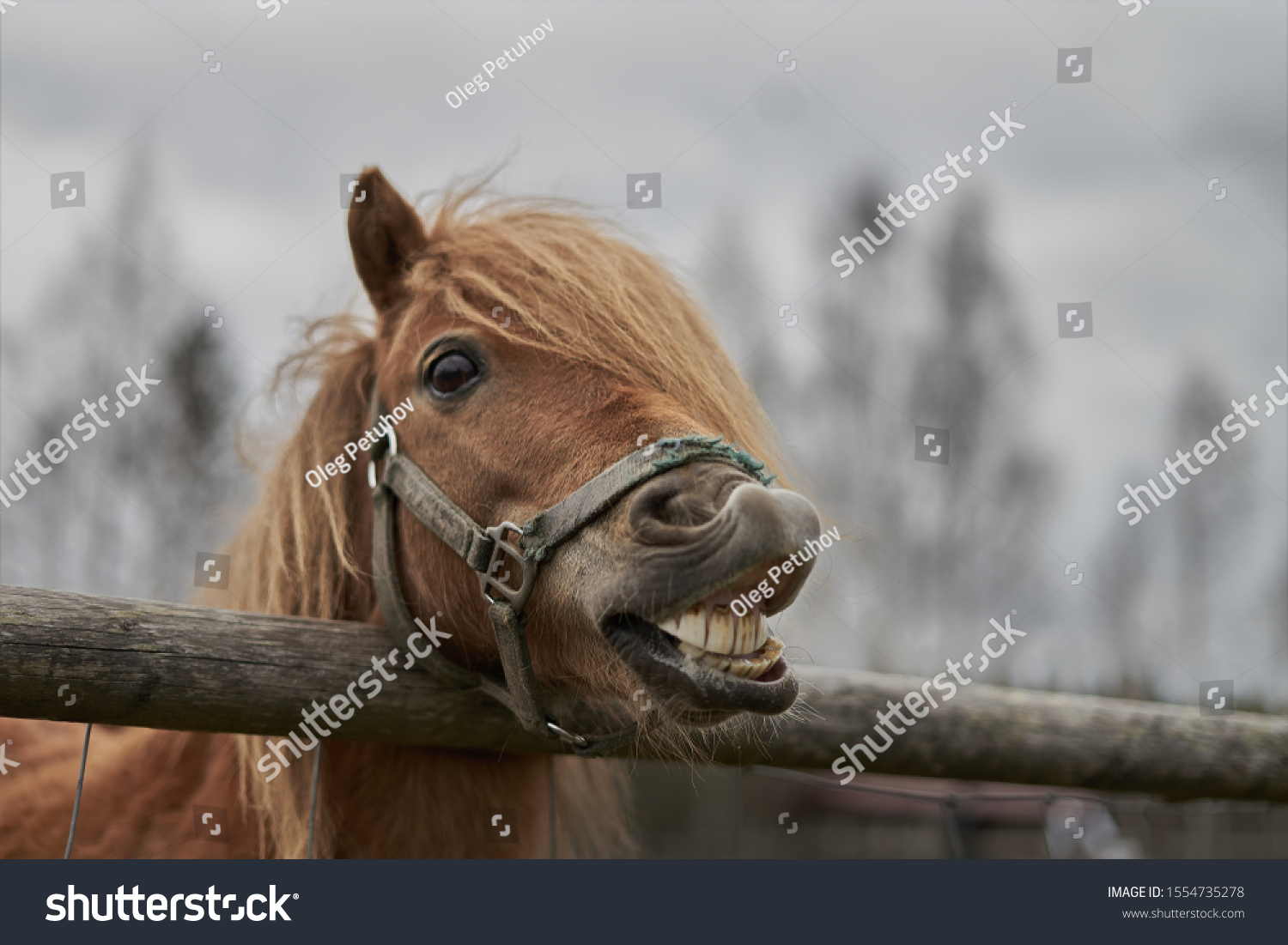 Little horse at small latvian zoo. Horse smile. Horse showing teeth, smiling horse, funny horses, funny animal face. laugh animal #1554735278