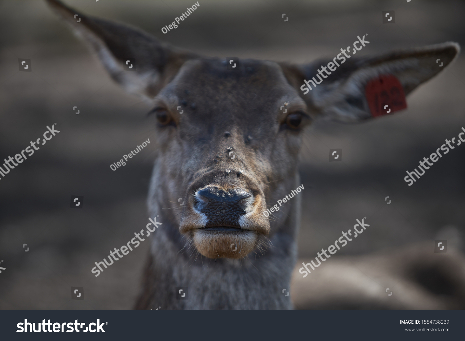 Young deer at one of the latvian zoo #1554738239