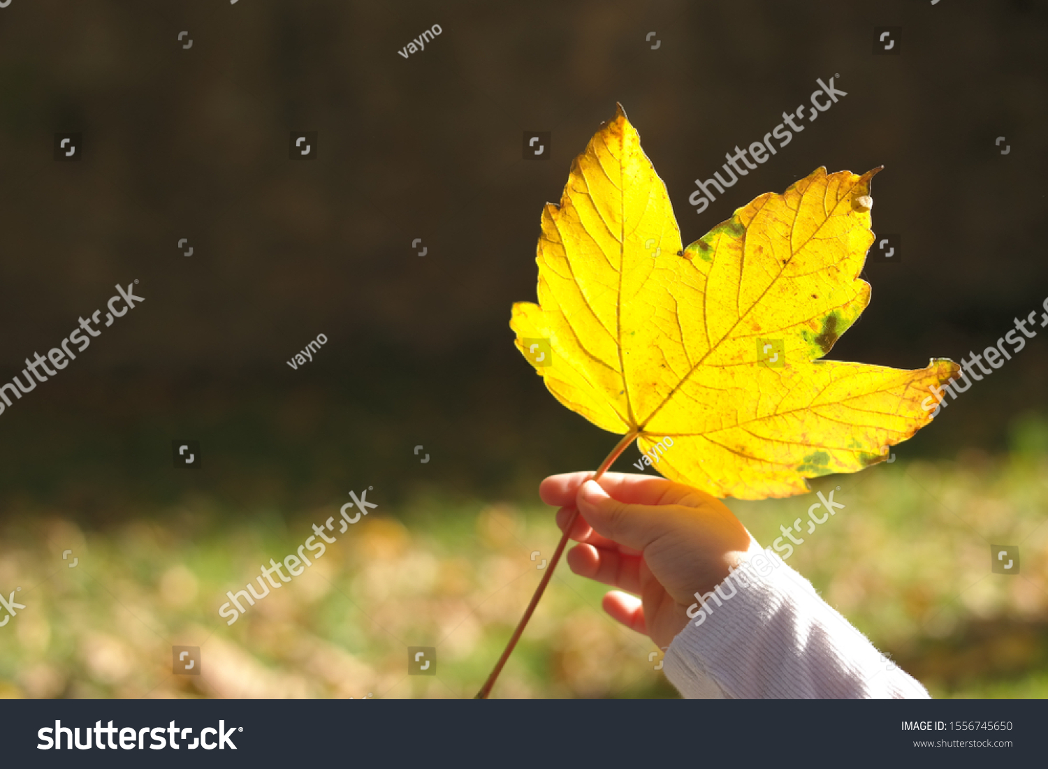 stock-photo-a-yellow-sycamore-leaf-in-th