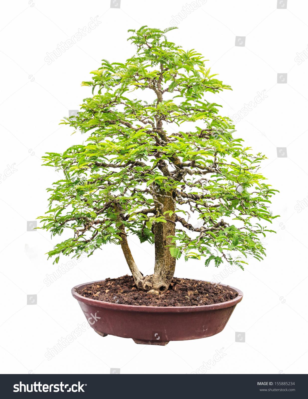 tamarind tree bonsai isolated on white stock photo, Beautiful flower