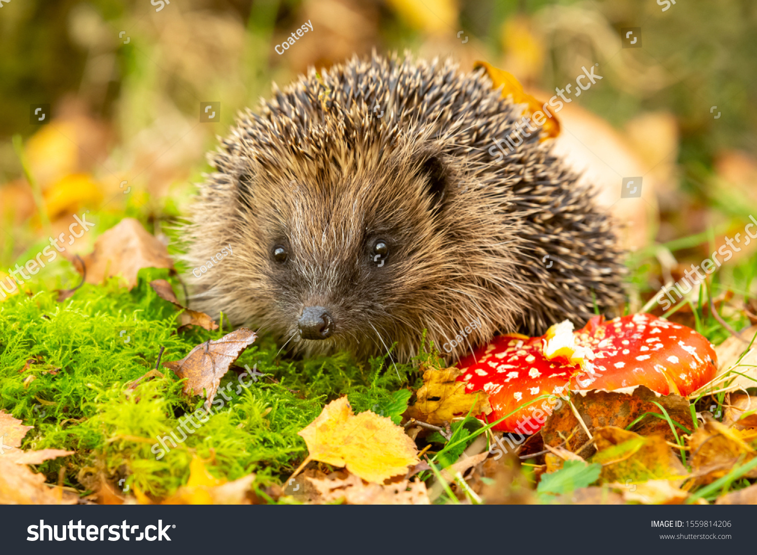 Hedgehog, (Scientific name: Erinaceus Europaeus) wild, native, European hedgehog with red Fly Agaric toadstool, and green moss.  Facing forward.  Autumn or fall. Close up. Horizontal.  Space for copy. #1559814206
