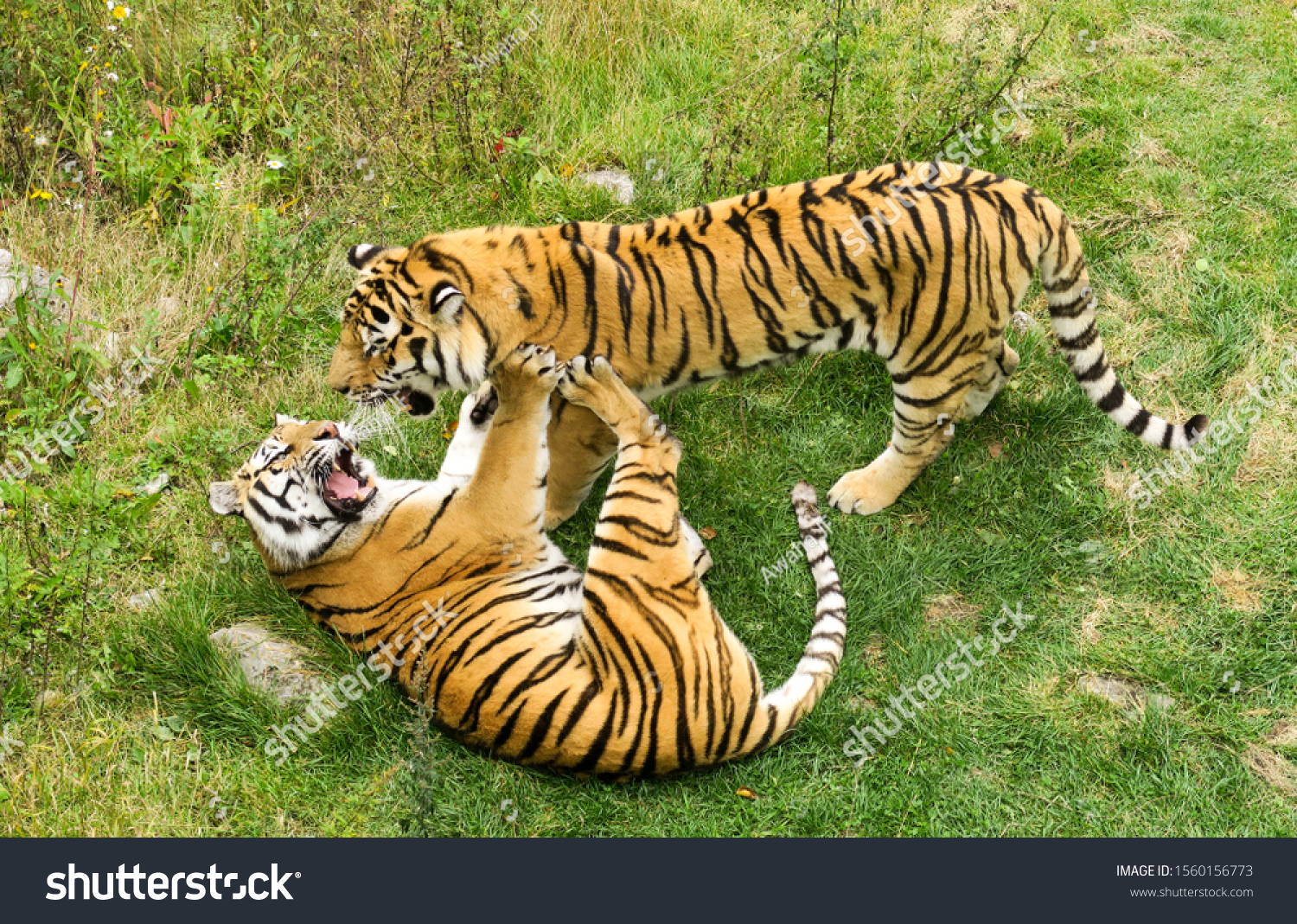 stock-photo-two-siberian-tigers-playing-