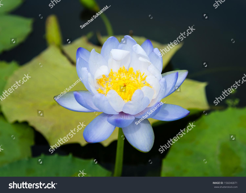 Purplewhite lotus flower stock photo edit now 156046871 shutterstock purple white lotus flower izmirmasajfo