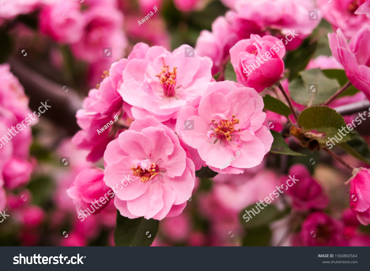 stock-photo-pink-cherry-blossom-flowers-
