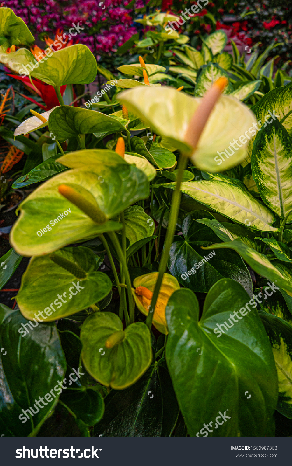 Beautiful Colorful Leaves Flowers House Plants Stock Photo Edit Now 1560989363