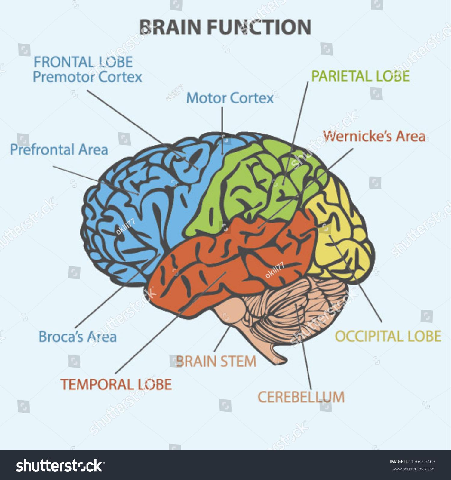 Brain Function Diagram Stock Vector 156466463