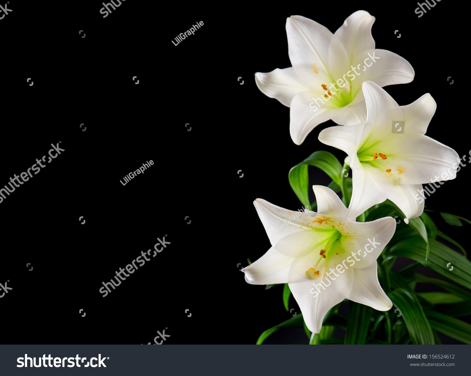 White Lily Flowers Bouquet On Black Stock Photo Edit Now 156524612