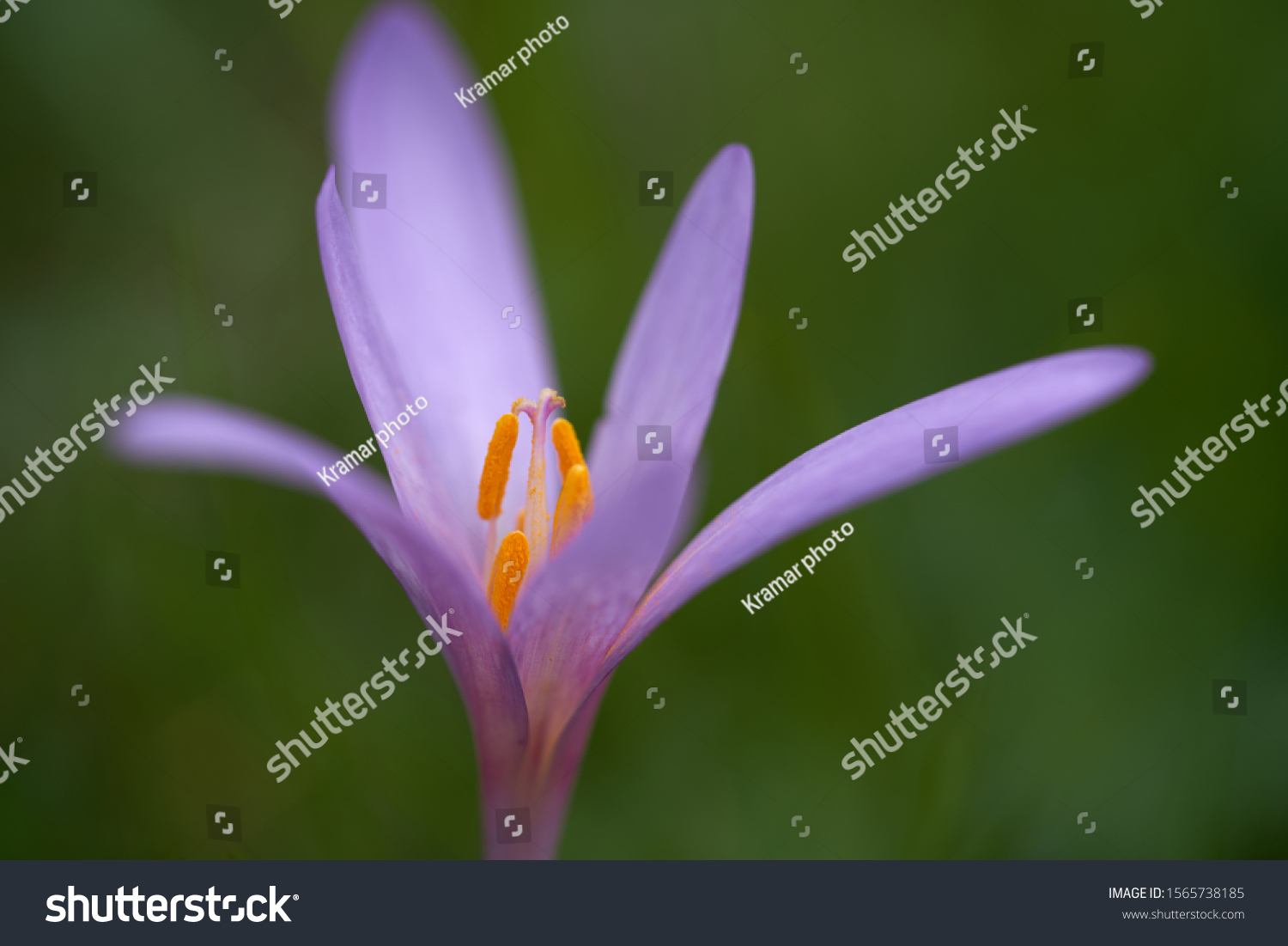 Detail of wild flower Colchicum autumnale on the forest meadow. Known as autumn crocus, meadow saffron or naked ladies. Beautiful violet flower on green background. Autumn time on the meadow.