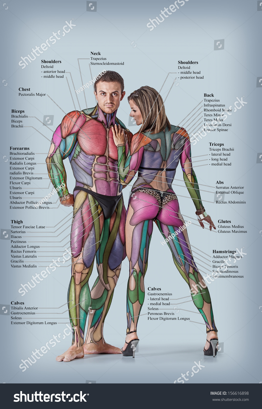 Anatomy Male Female Muscular System Anterior Stock Photo (Edit Now ...
