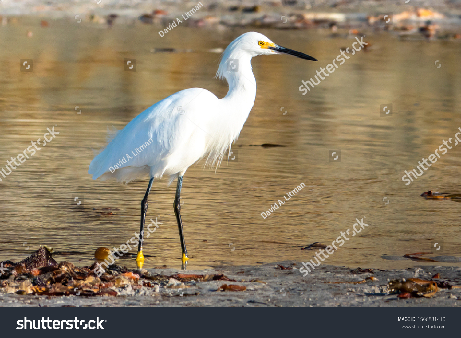 stock-photo-a-snowy-egret-egretta-thula-in-full-breeding-plumage-wades-in-shallow-water-of-a-tide-pool-at-the-1566881410.jpg
