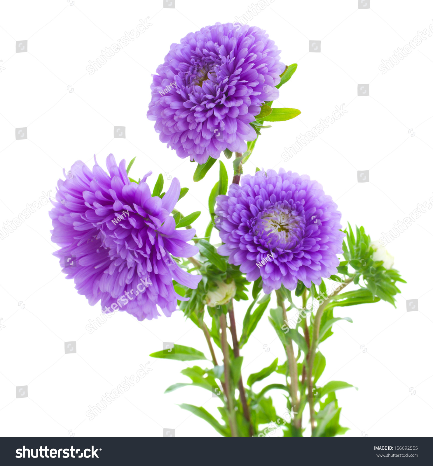Tree Aster Violet Flowers Isolated On Stock Photo 156692555 ...
