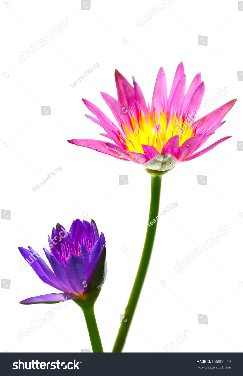 Royalty Free Pink Water Lily Flower Lotus And 156800969 Stock