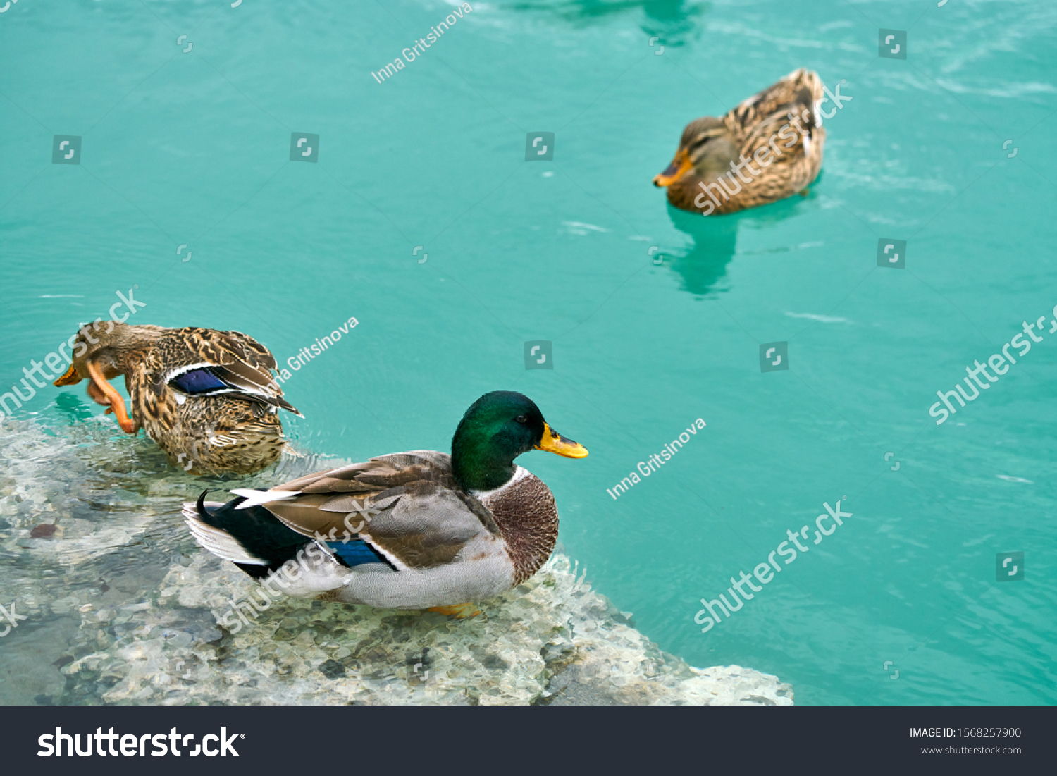 Ducks on water. Floating ducks. Pond/river/lake. Birds on water. Montenegro, Cievna river