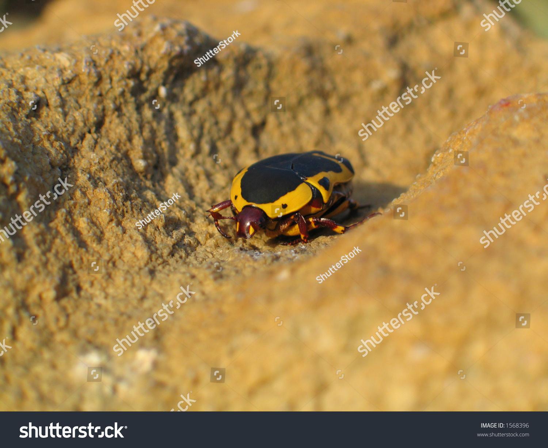 Yellow Black Yellow Beetle Bug On Stock Photo (Edit Now) 1568396