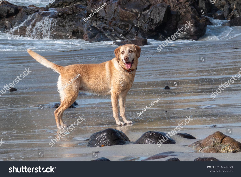 A happy, energetic young yellow Labrador Retriever runs along the beach, in Camel by the Sea, near Monterey, along the central coast of California.