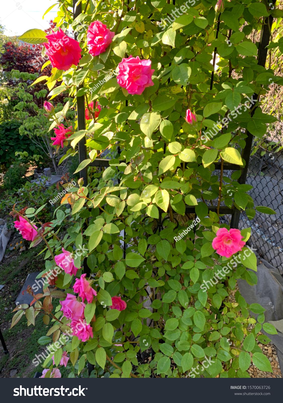 Zephirine Drouhin Climbing Rose zephirine drouhin images, stock photos & vectors   shutterstock