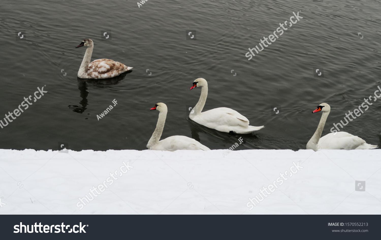 stock-photo-white-swans-in-dark-waters-c