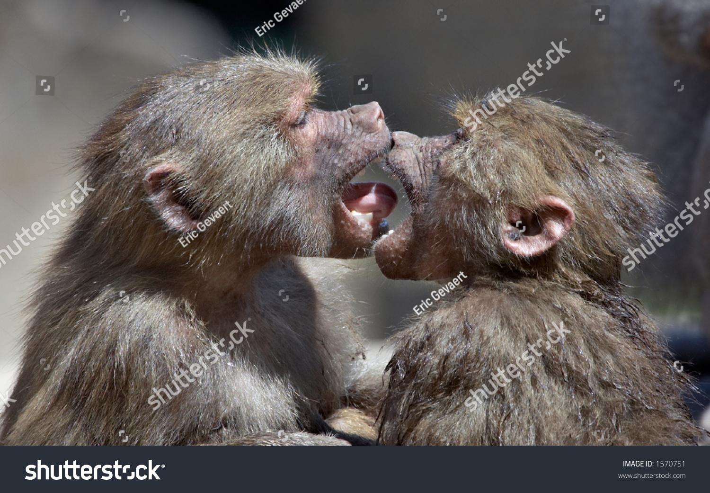 two monkeys kissing stock photo 1570751   shutterstock