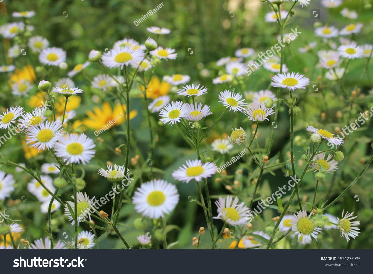 Daisies in the meadow, green meadow #1571276935