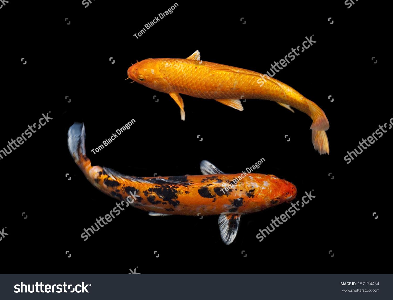 Koi fish swim pondisolate background blackfancy stock for Red and white koi fish