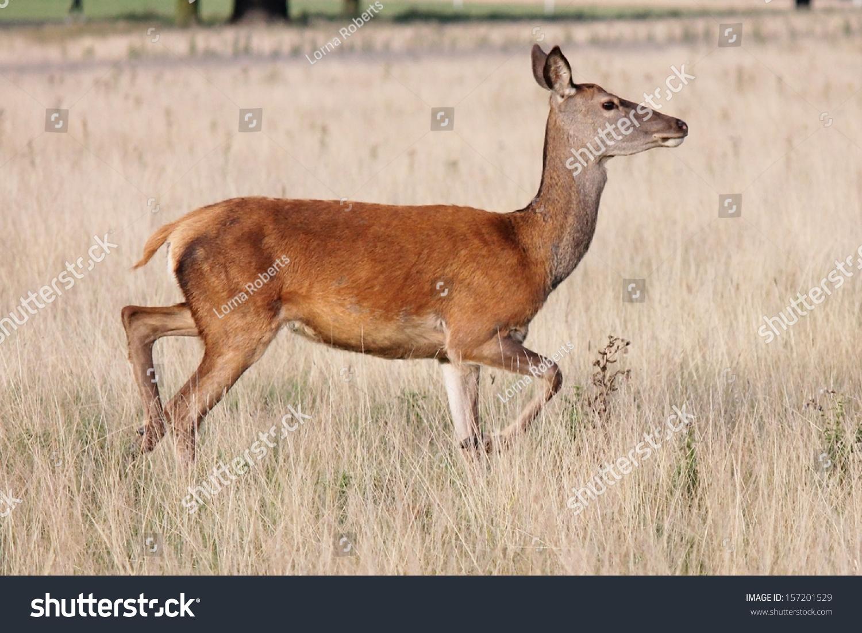 Red deer women