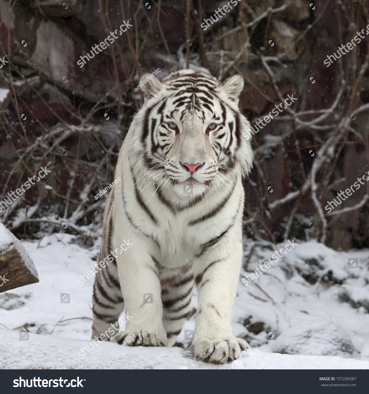 White bengal tigers in snow
