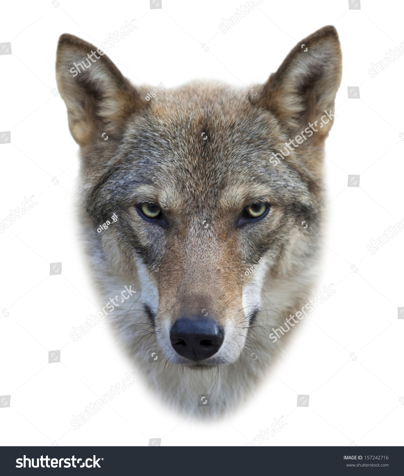 Wolf Face Nature Drawing