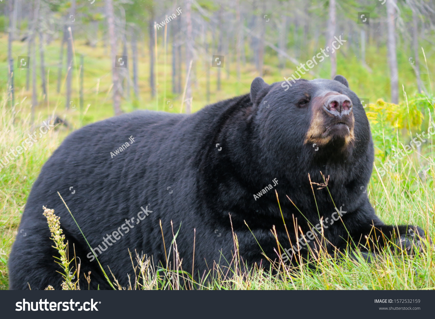 stock-photo-black-bear-laying-down-in-th