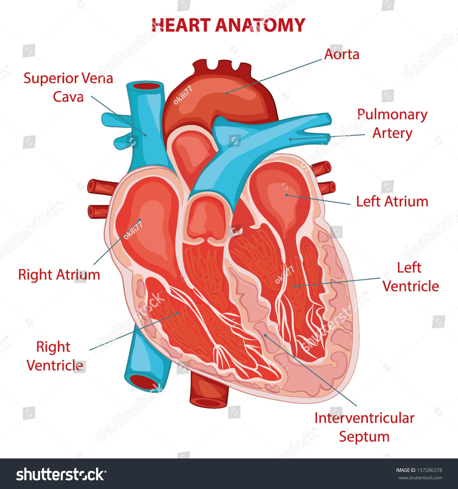 Heart Anatomy Cross Section Diagram Stock Vector Royalty Free